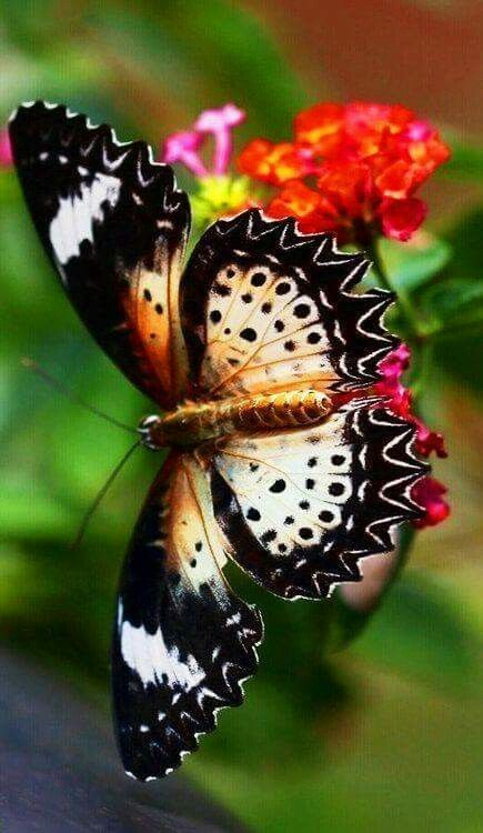 Mariposa Lacewing Butterfly On Lantana Galleta