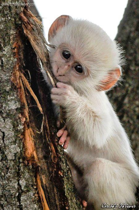Albino Vervet Maymunu