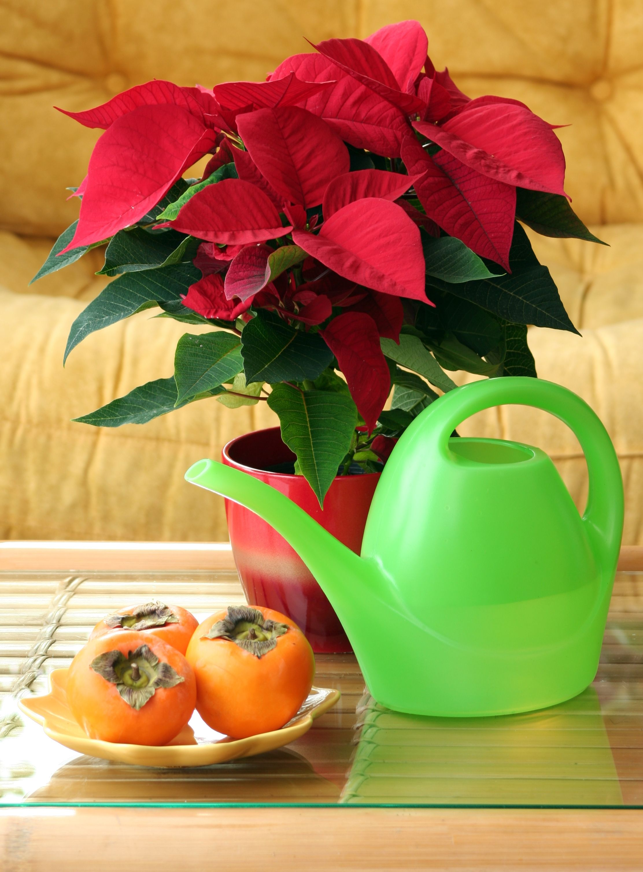 Flor de pascua cuidados para esta planta de navidad jardiner a y paisajismo pinterest plants - Cuidados planta navidad ...