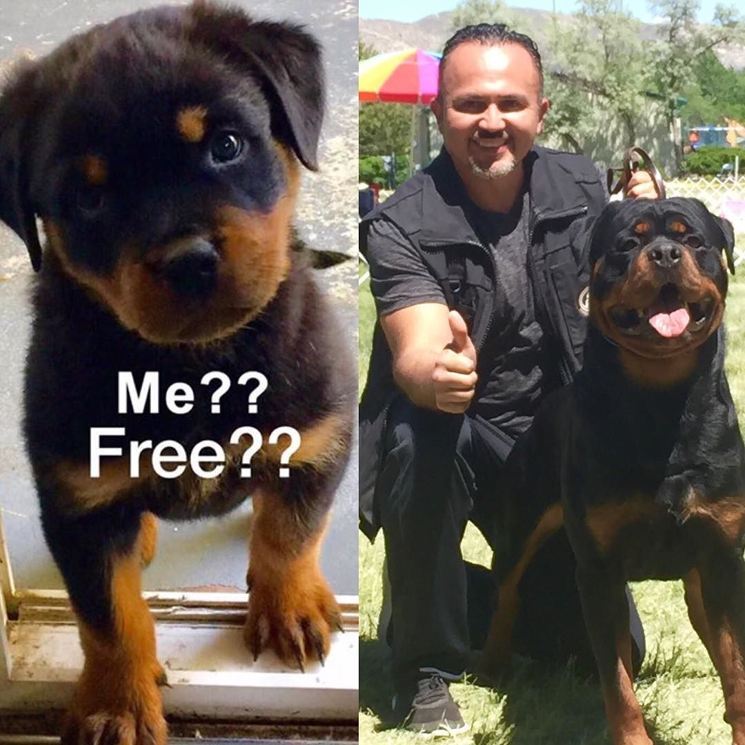 Free Puppy Vom Bustos Hause Orange County Rottweilers Is
