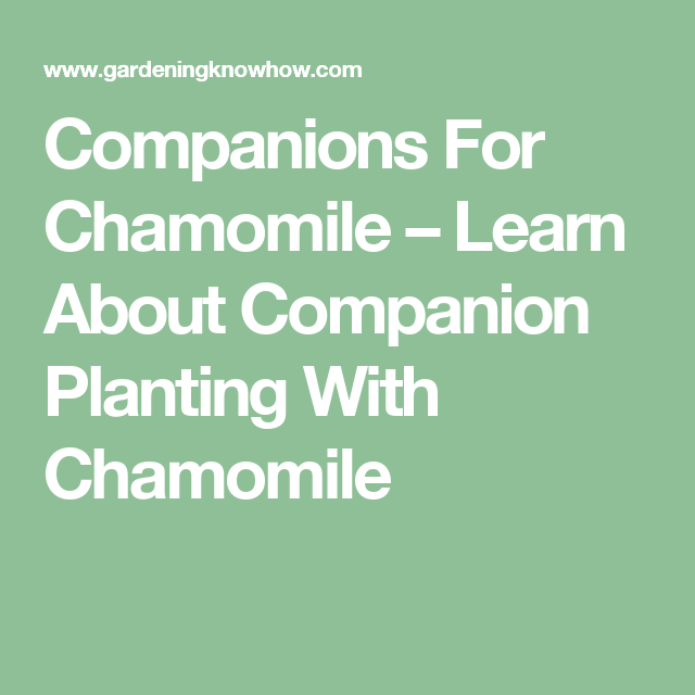 Chamomile Plant Companions What To Plant With Chamomile 400 x 300