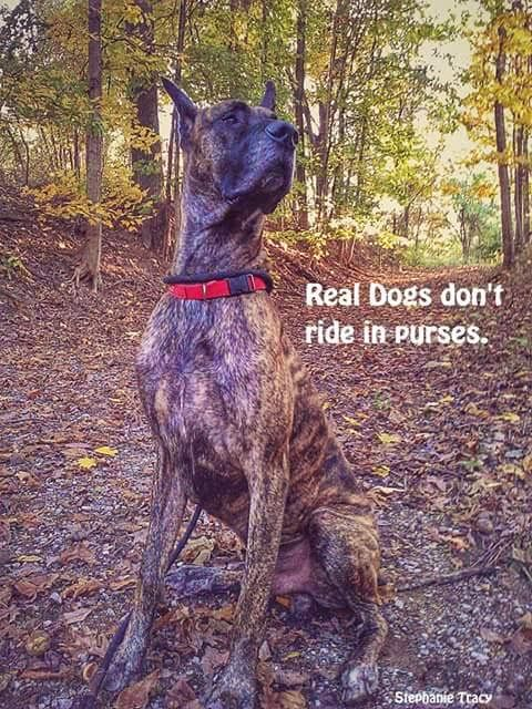 12 Best Great Dane Memes Of All Time Great Dane Funny Great