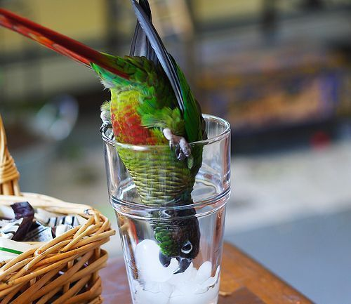 parrot ice #i'mthirsty Moooommmm! I'm thirsty! #funnyparrots #birdlife #typical #imthirsty parrot ice #i'mthirsty Moooommmm! I'm thirsty! #funnyparrots #birdlife #typical #imthirsty parrot ice #i'mthirsty Moooommmm! I'm thirsty! #funnyparrots #birdlife #typical #imthirsty parrot ice #i'mthirsty Moooommmm! I'm thirsty! #funnyparrots #birdlife #typical #imthirsty