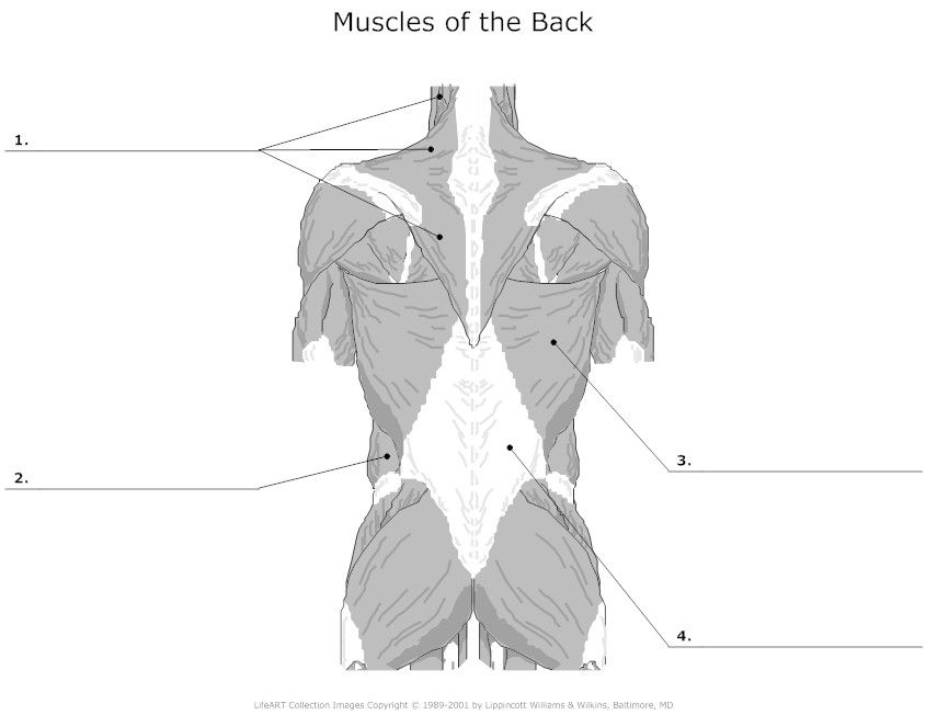 126 best anatomy - the muscles images on pinterest, Muscles