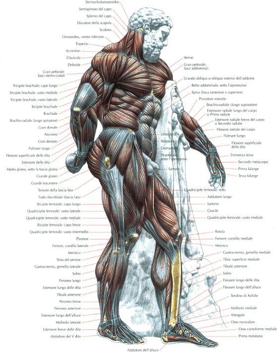 muscolatura_anatomia_lato.jpg (559×711) | Anatomy | Pinterest