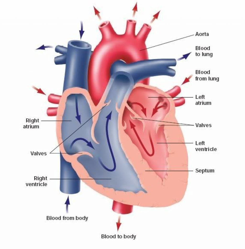 human heart diagram without labels human heart diagram without labels picture of heart without labels [ 1024 x 1041 Pixel ]