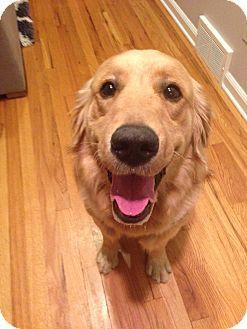 North Haledon Nj Golden Retriever Meet Skippy A Puppy For
