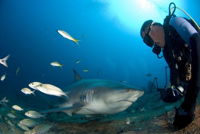 Divers Feed Sharks In Santa Lucias Beach Camaguey Cuba Diving Scuba