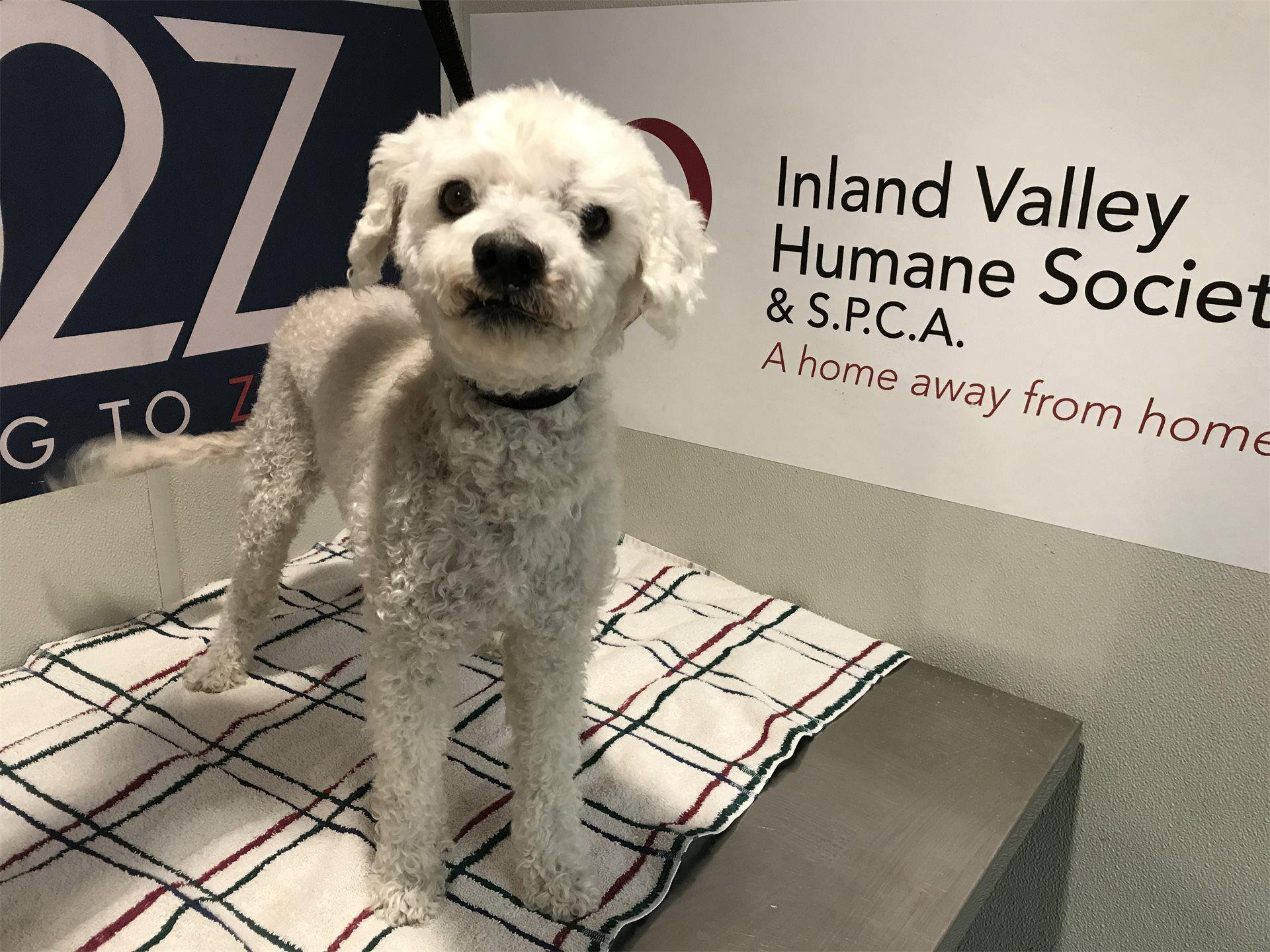 I1286412 Poodle Mix California Adoptdontshop Inland Valley Humane Society Humane Society Miniature Dogs Dog Adoption