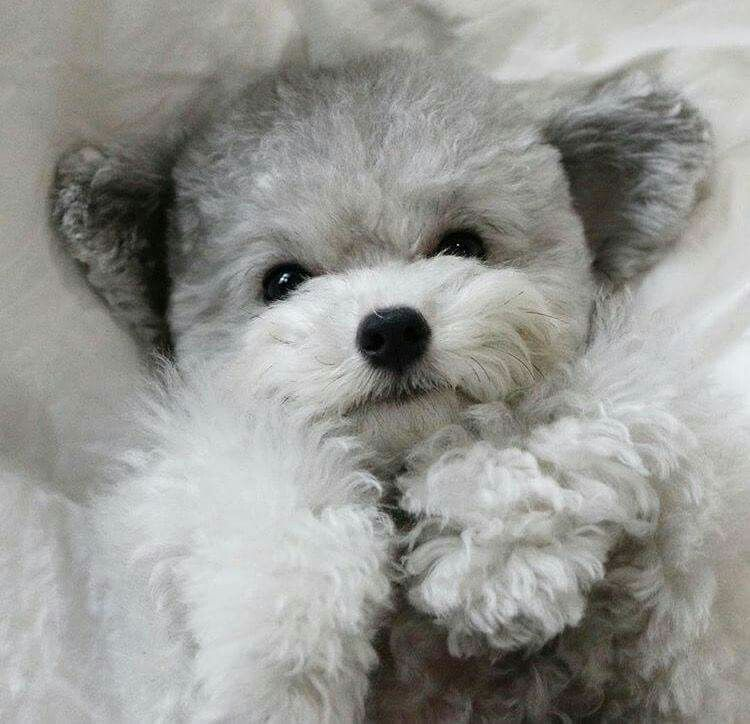 So Cute Dogs Puppies Poodle Dog Toys
