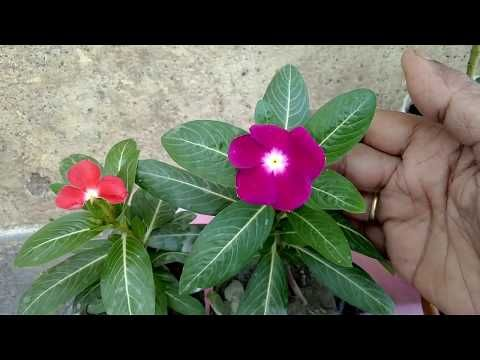 Information About Hybrid Variety Of Flowers X2f Repotting Of Periwinkle X2f Sadabahar In Hindi And Urdu Youtube Periwinkle Flowers Camellia Tree Flowers