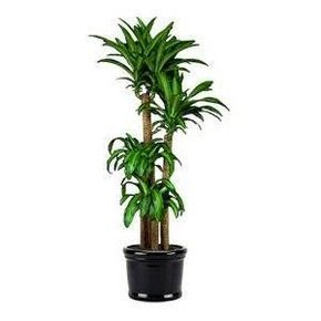 Best Indoor Or Patio Plant Easy To Take Care Of And They Look Like An Palm Tree For That Beachy Feel