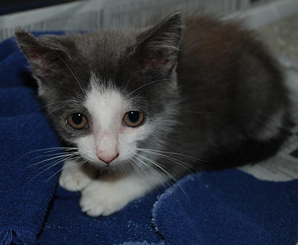 5 Feline Fridays all through June! C0293, kitten, female