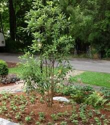 Sweetbay Magnolia Landscaping Fast Growing Trees Growing Tree