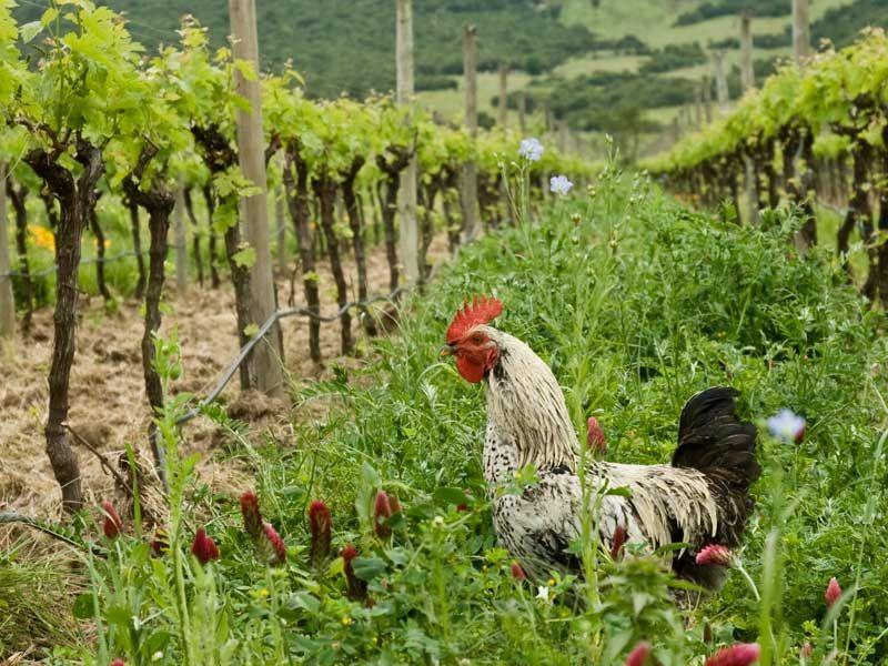 Vinhedo orgânico da vinícola chilena Emiliana