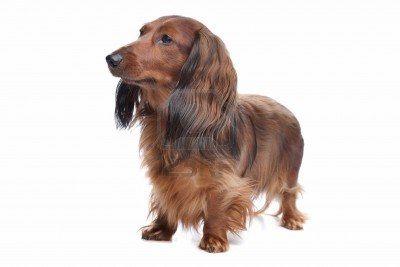 Long Haired Dachshund Dog Training Books Dogs Dog Training Methods