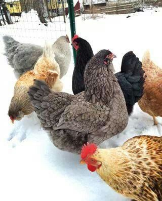 A snowy winter scene of a white, yellow-doored chicken ...  |Winter Scenes With Chickens