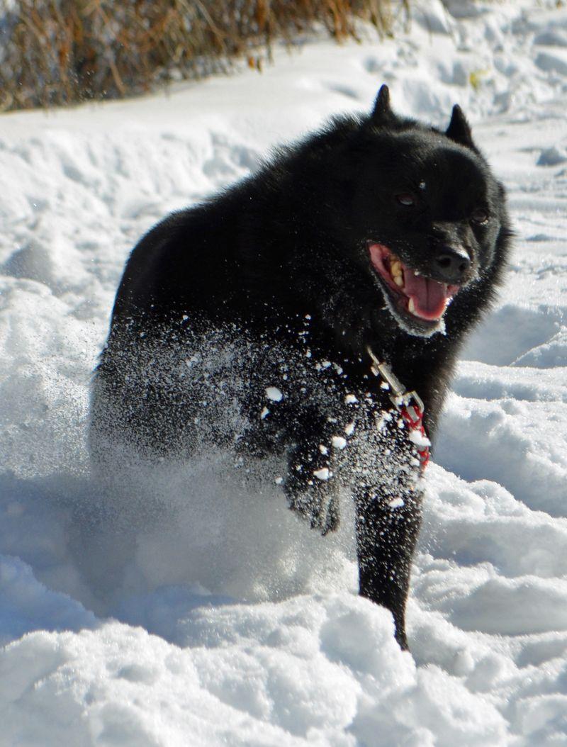 Adopt Gilligan on Schipperke dog, Dogs, puppies, Dogs