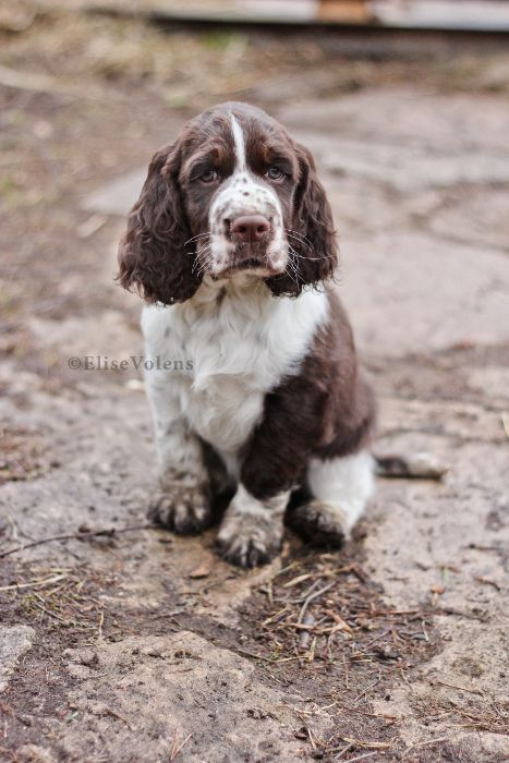 Adamant S Glamour Moments By 1shiningmoon On Deviantart Springer Spaniel Puppies Spaniel Puppies Dogs