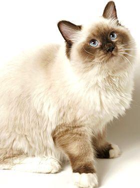(Ragdoll cat) My favorite kind !!!