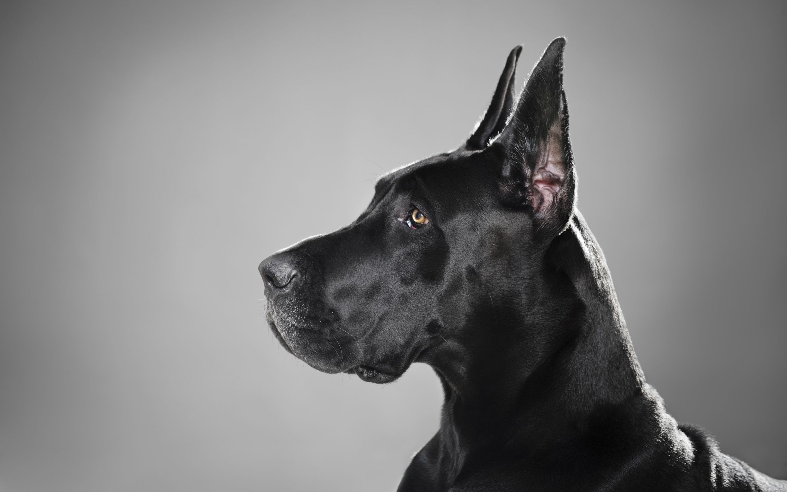 Great Dane Black Dog Free Hd Widescreen Wallpapers 47536 Perros