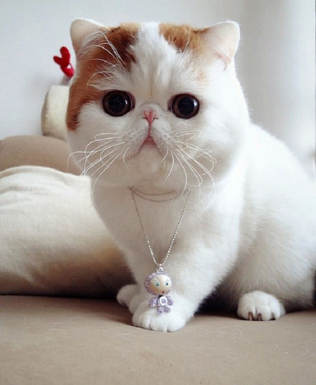 cute cat breeds with big eyes Exotic shorthair, Çok