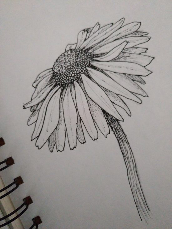 Art Beautiful Black And White Daisy Drawing Flower Pen
