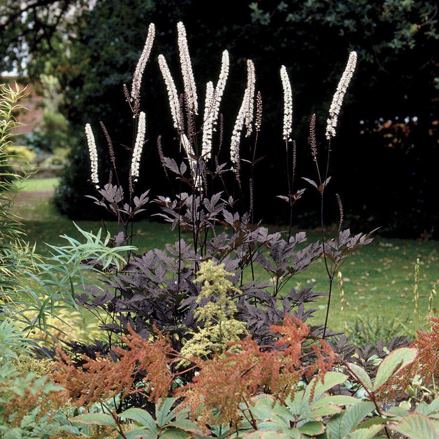 hillside black beauty bugbane cimicifuga hillside black beauty at wayside gardens flower. Black Bedroom Furniture Sets. Home Design Ideas