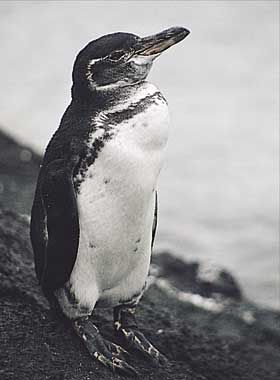 why are galapagos penguins endangered