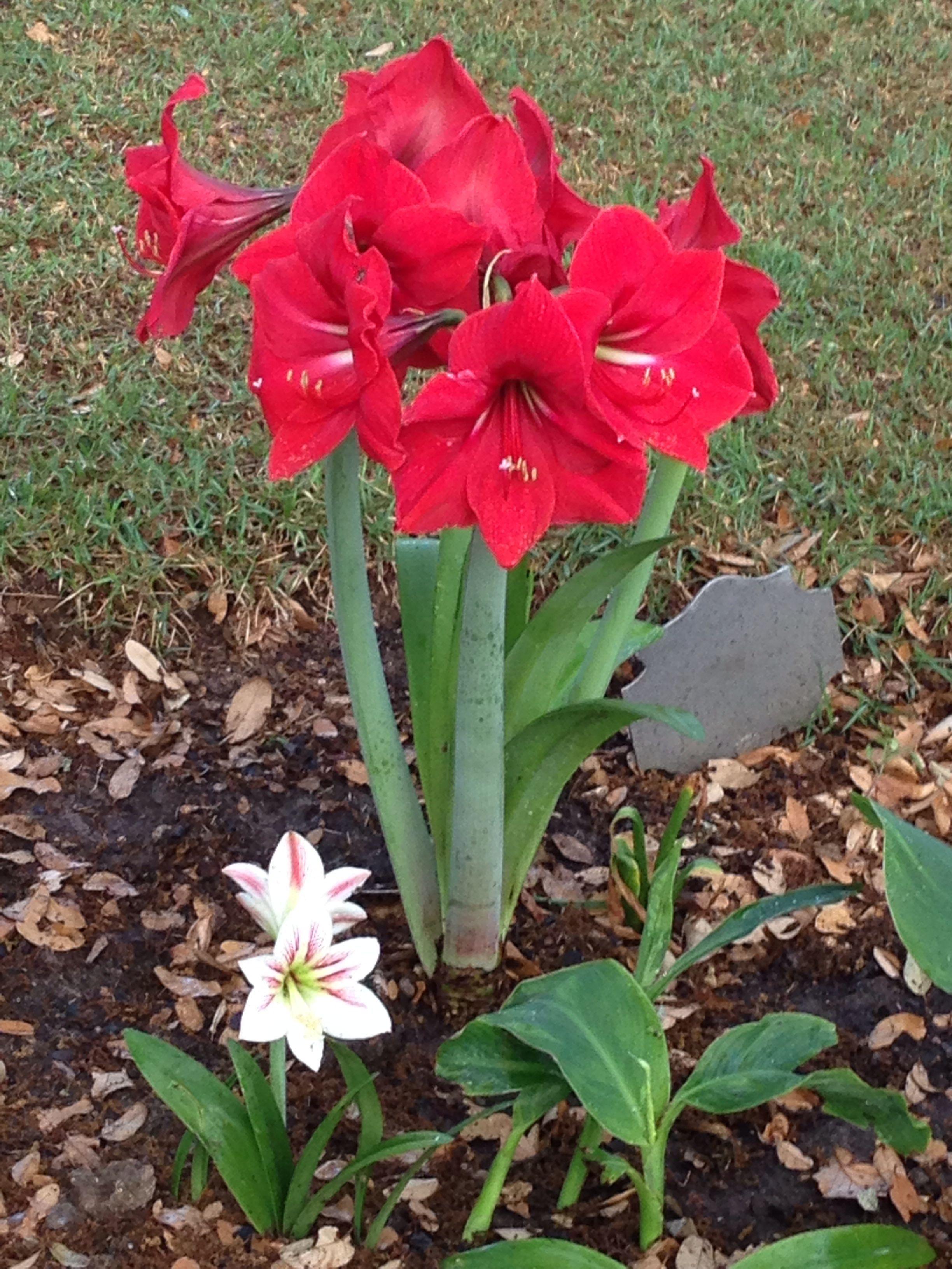 Red Lion Amaryllis In My Garden April 2014 Beau Jardin Amaryllisdeko Flores Bonitas Flores Lirios