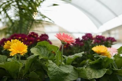 Are Gerbera Daisies Annuals Or Perennials With Images Gerbera