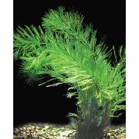 Water Wisteria Plant Petsmart Wisteria Plant Live Plants