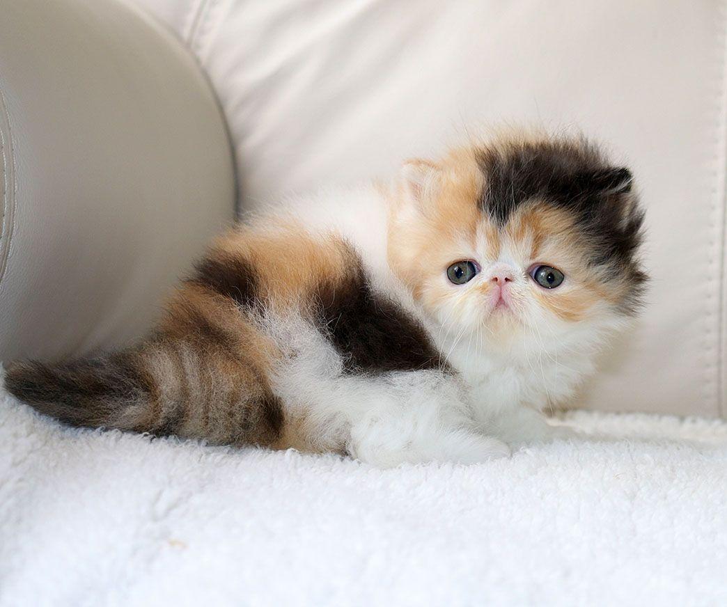 Alfenloch Choc Lat Sundae Calico Female Persian Kitten Persian Kittens Cute Cats Persian Cat