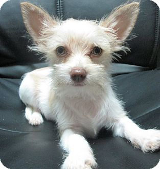 Trenton Nj Chihuahua Poodle Miniature Mix Meet Kit A Puppy