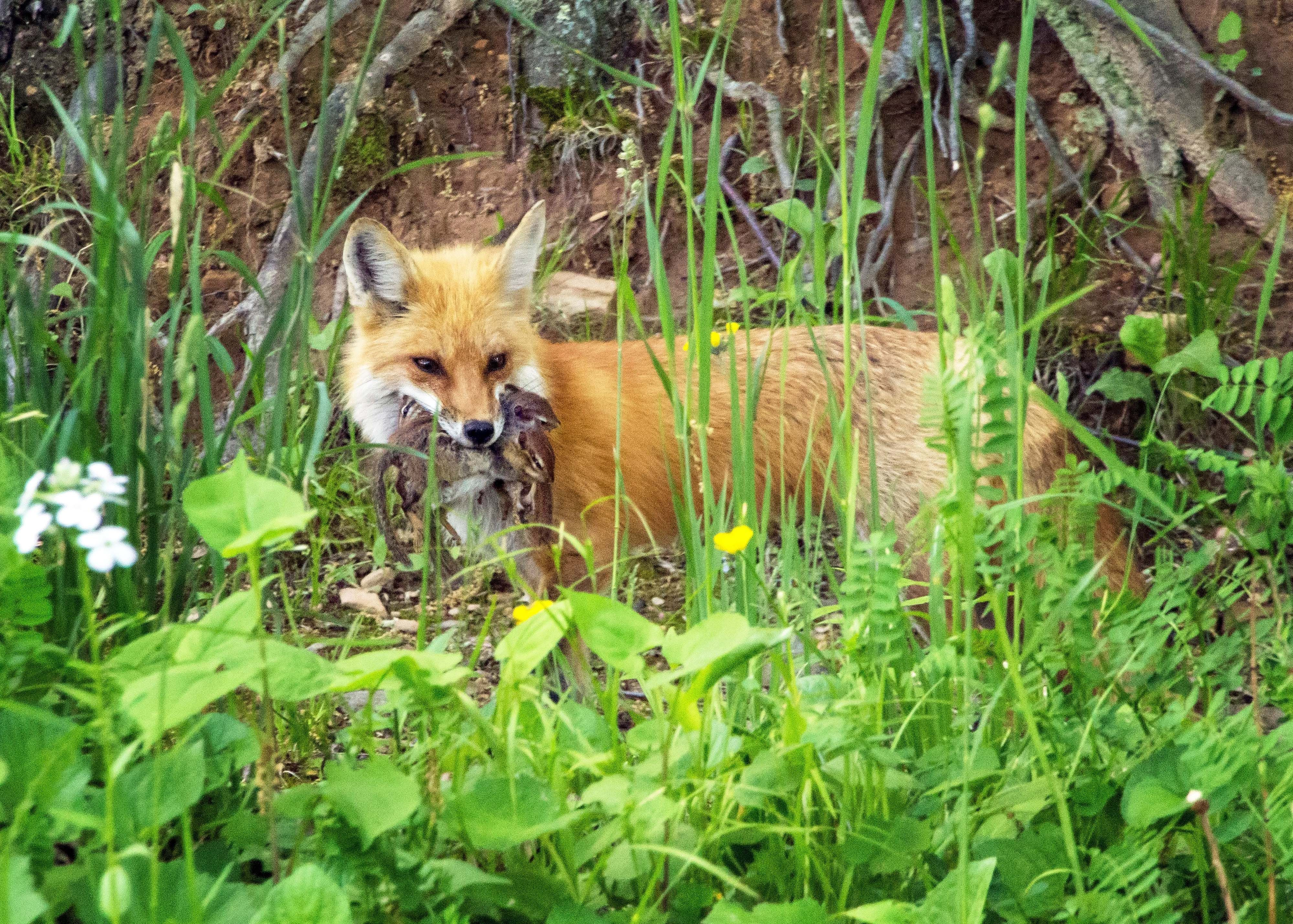 Fox bringing home dinner with images fox