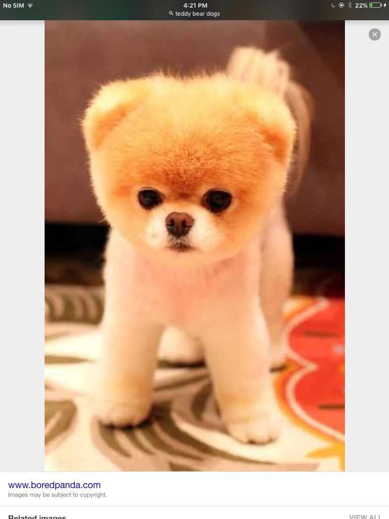 Best Teddy Bear Chubby Adorable Dog - 8e3d7f41c21ca0dd48a5817bd8faf906  Gallery_671084  .jpg