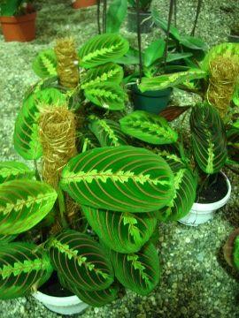 Maranta Maranta Leuconeura Uprawa Maranty Opis Rosliny Ogrodnik Amator Plants Backyard Yard