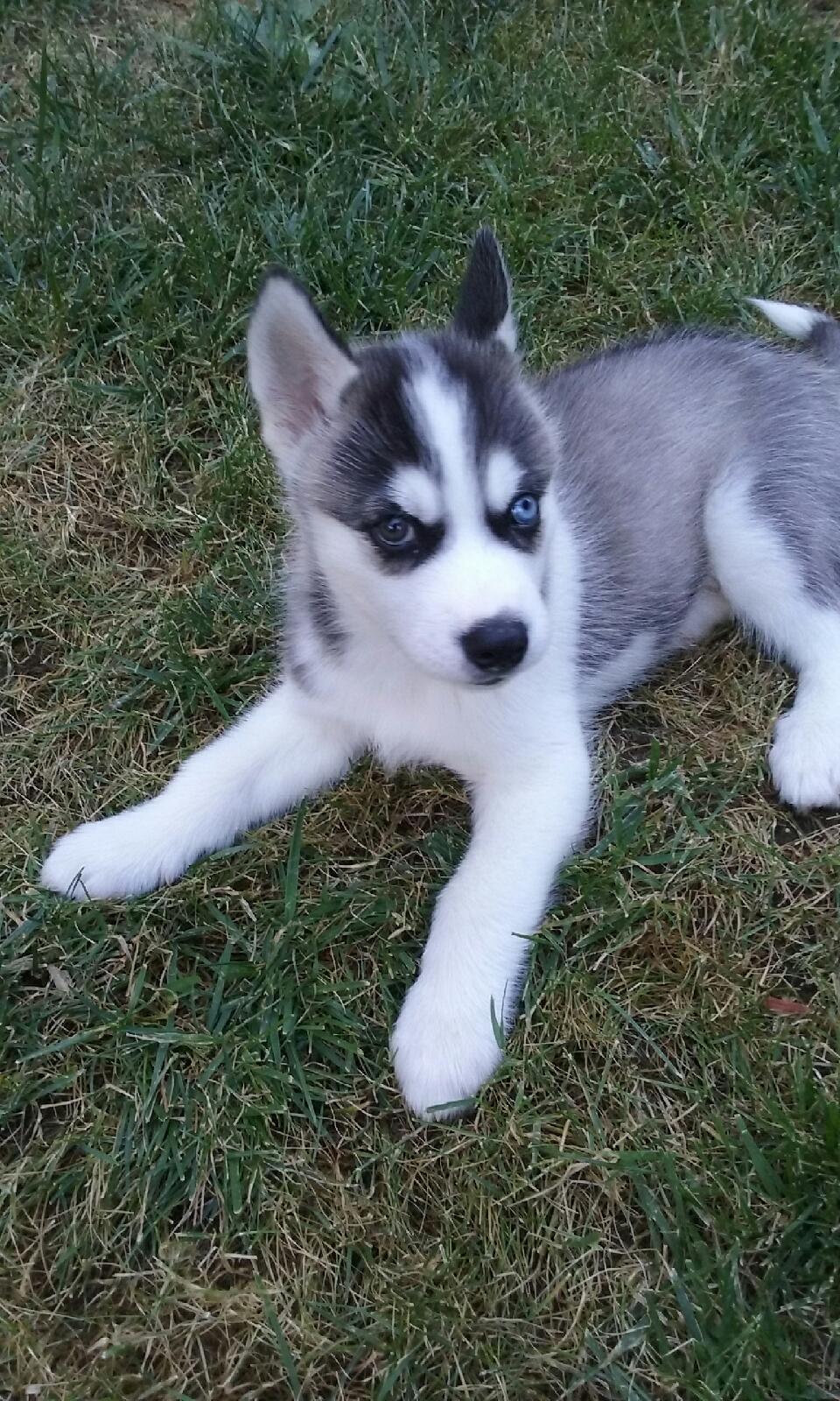 My Beautiful Siberian Husky Puppy Rex Husky Puppy Siberian