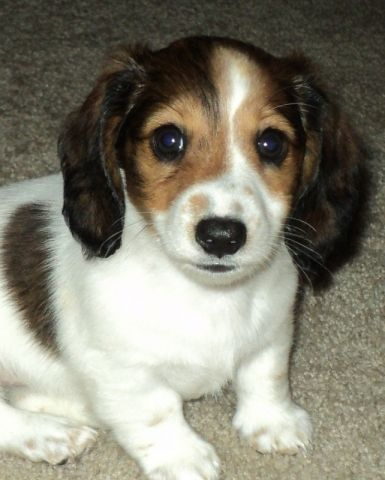 Ckc Mini Dachshunds Cute Little Puppies Cute Dogs Cute Creatures