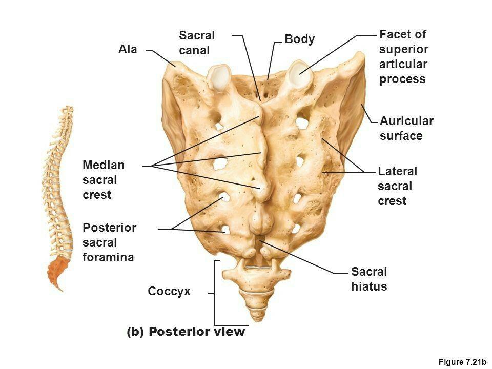 sacral crest, hiatus | Anatomy | Pinterest