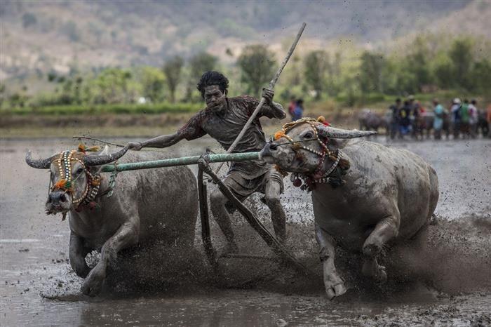 Impressionantes Fotos Jornalísticas  Nusa Tenggara Oriental, Indonésia: Um competidor monta dois búfalos em uma tradicional corrida de Barapan Kebo.