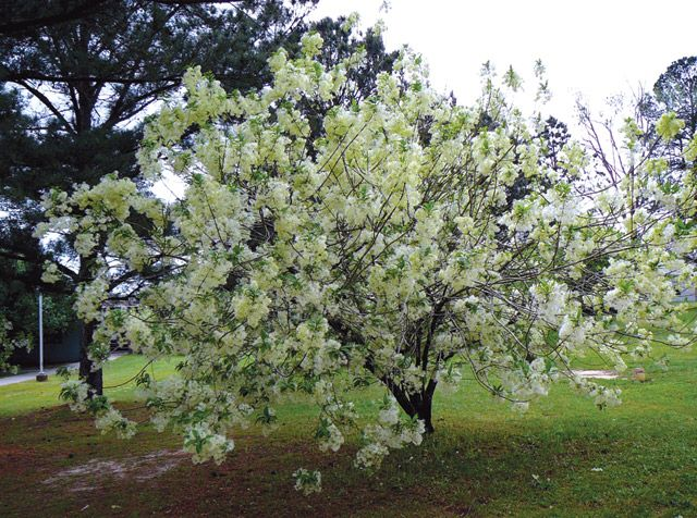 For the backyard white fringe tree old man 39 s beard - Olive garden spring hill tennessee ...