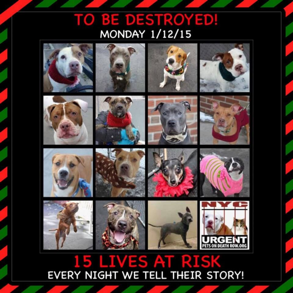 TO BE DESTROYED:15 beautiful dogs to be euthanized by NYC ACC- . MON 01/12/15. This is a VERY HIGH KILL shelter group. YOU may be the only hope for these pups! ****PLEASE SHARE EVERYWHERE!!To rescue a Death Row Dog, Please read this: http://urgentpetsondeathrow.org/must-read/  To view the full album, please click here:  https://www.facebook.com/media/set/?set=a.611290788883804.1073741851.152876678058553&type=3