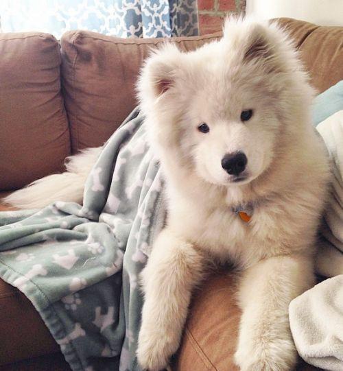 Top Samoyed Chubby Adorable Dog - 8e3f71112ee58f887dfeac3543661689  Gallery_662325  .jpg