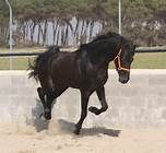 Horse Andalusian Stallion