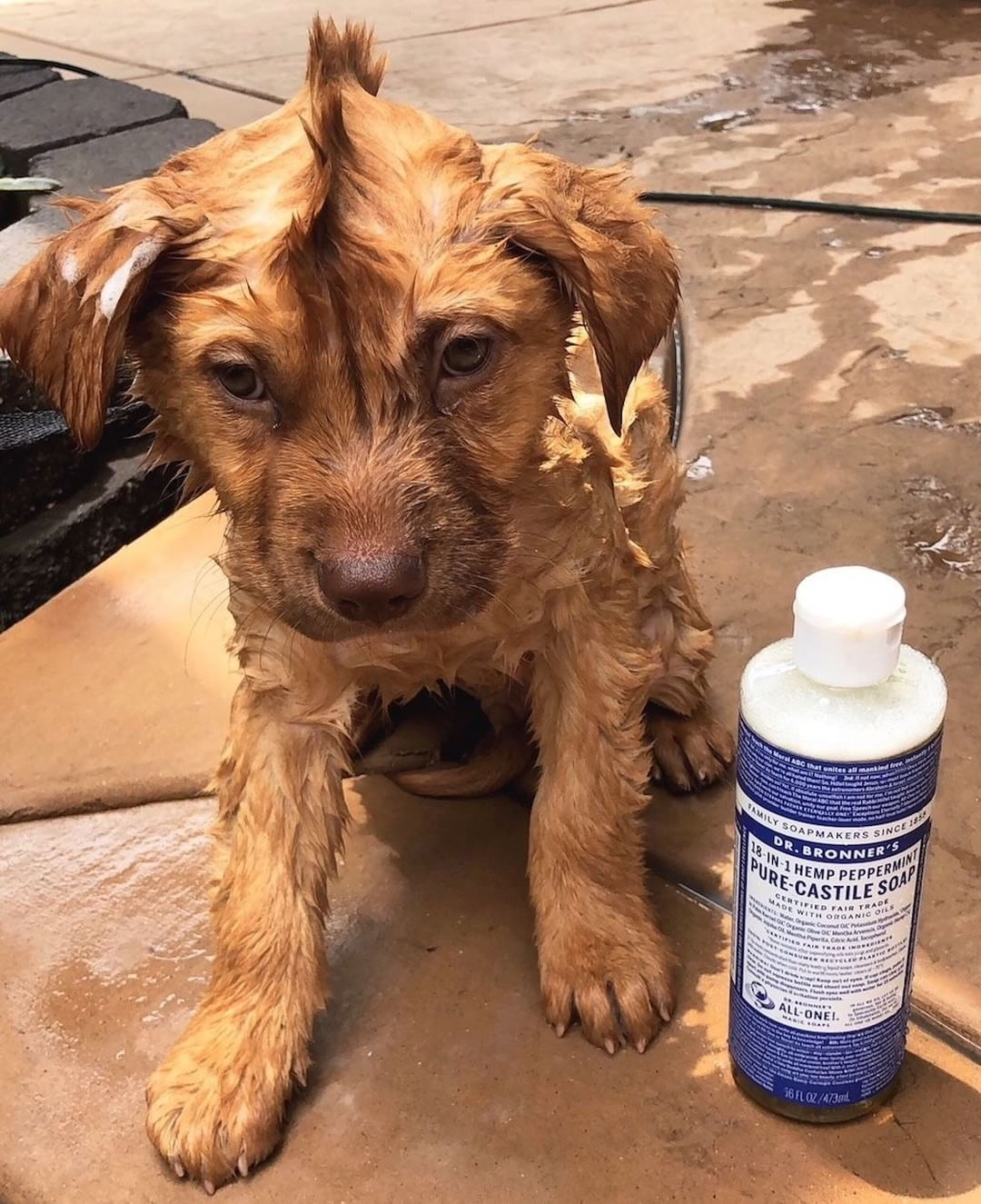 Dog Washing With Dr Bronner S Soap Video Dog Shampoo Recipe
