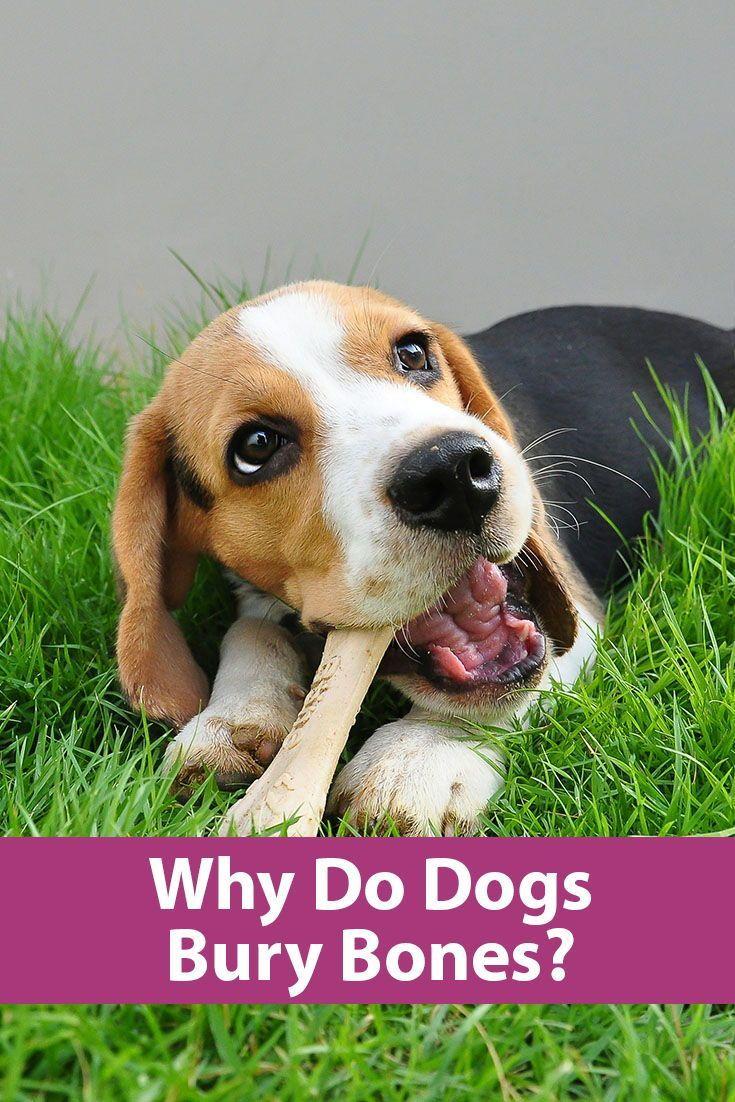 Why Do Dogs Bury Bones?   Dog behavior, Dogs, Training ...