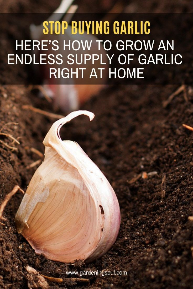 Buying Garlic. Here's How To Grow An Endless Supply Of Garlic Right At Home Garlic is a simple fo