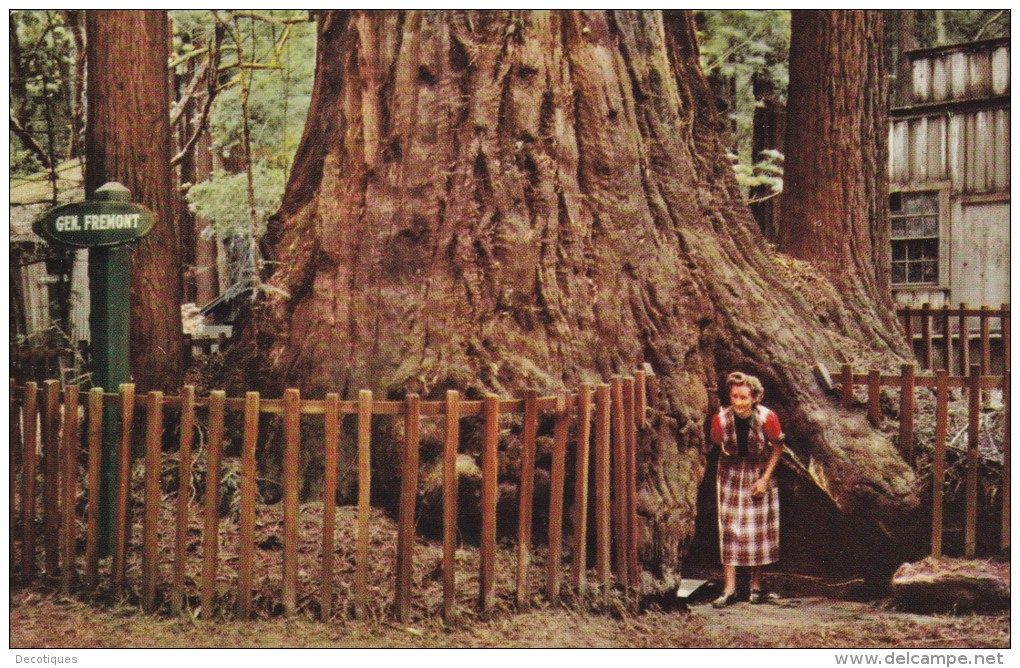 Historic picture of the Fremont Tree in Henry Cowell