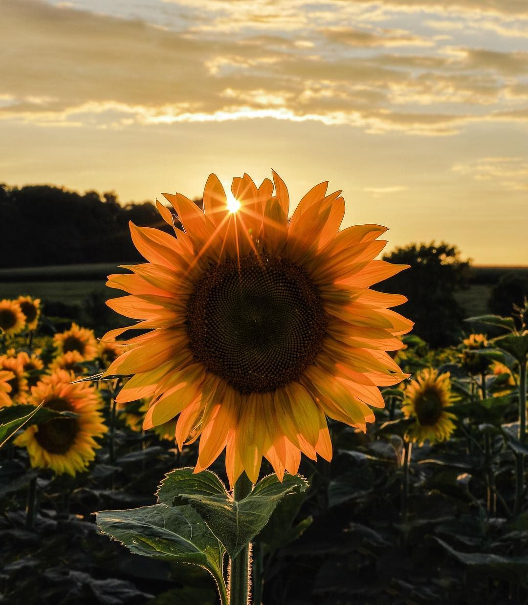 Roctopshots Photo Contest Thisisroc Com Sunflower Pictures Sunflower Iphone Wallpaper Sunflower Photography